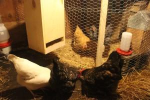 ChickSegregation