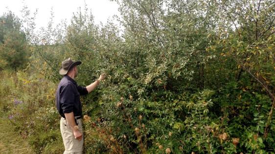 Mr. Fleming examining an autumn berry bush.