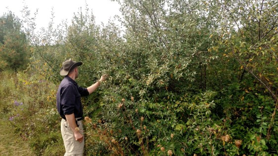 Mr. Fleming examining an autumn berry bush.