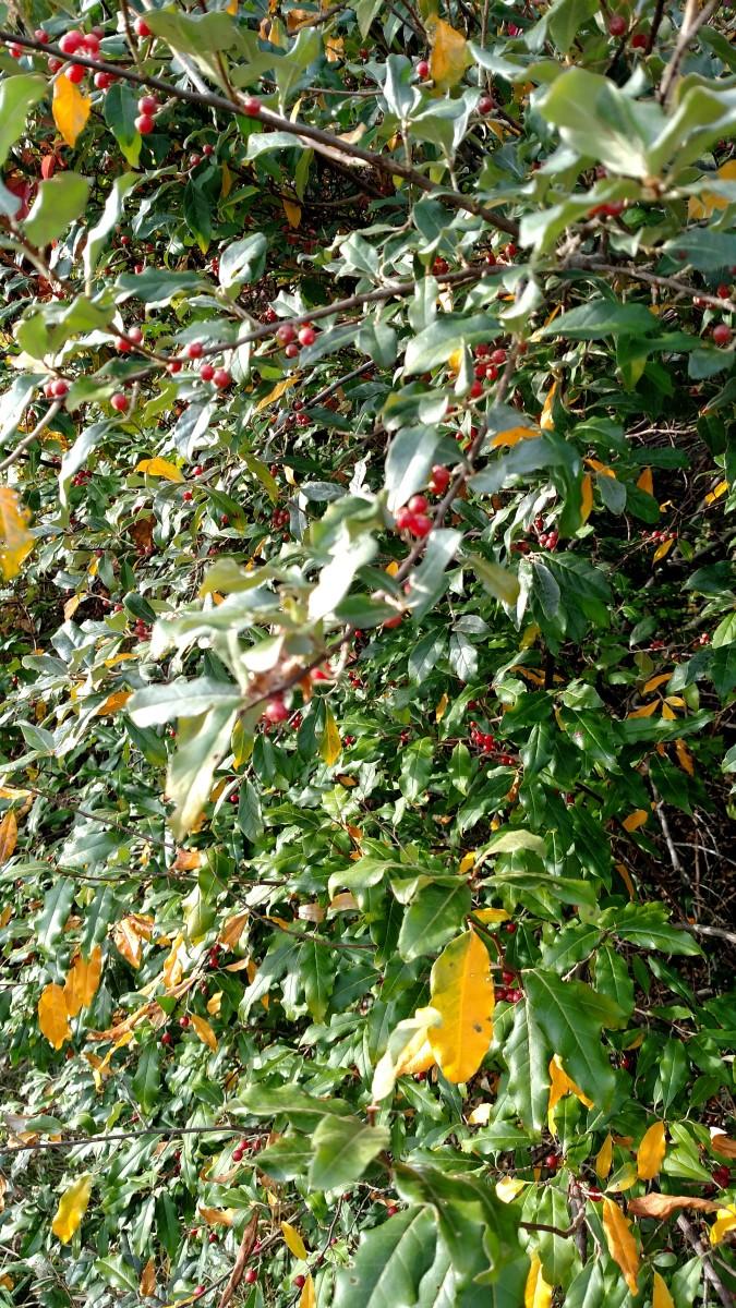 Autumn berries near the institute.