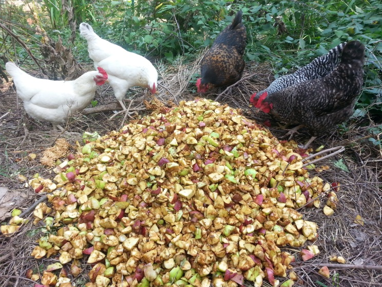 Chickens enjoying the pressings.