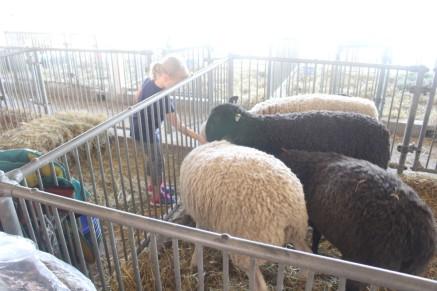 Kid feeding waiting sheep.