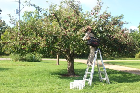 Apple picking.