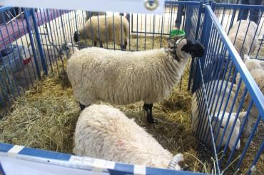 Scottish Blackface Sheep.