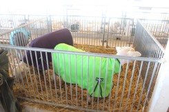 Blanket-covered sheep ready for the show.