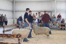 Two sheep in the ring.