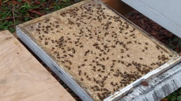 Bottom board covered with dead wasps and bees.