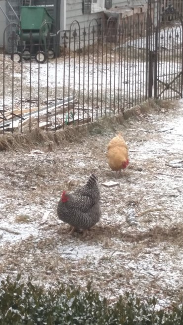 Winter chickens.