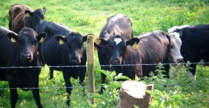 05-2012 Cows