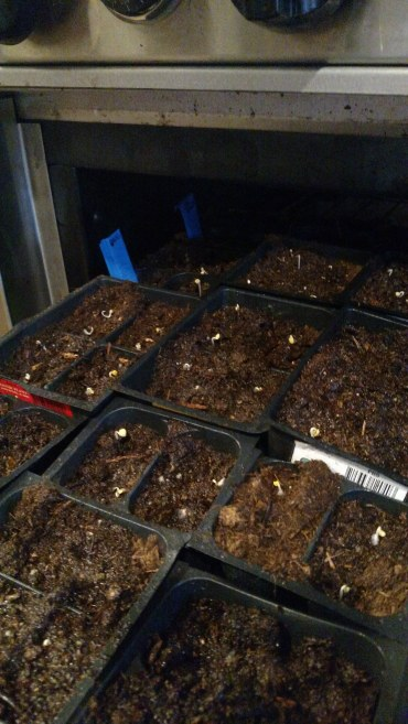 Germinating seeds in the oven; the pilot light keeps the temperature in the high 80s.