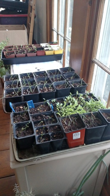 Seed trays with sprouts.