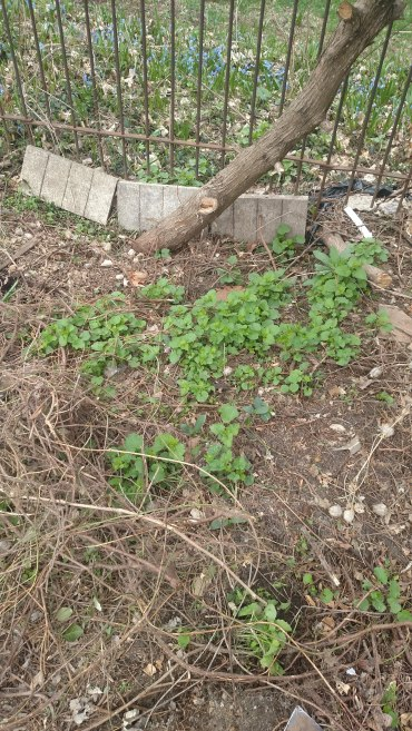 Garlic mustard -- an invasive species.