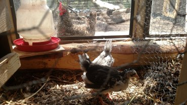 New chickens: Tom Petty and Judy Garland.