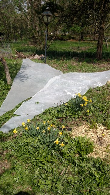 Solarizing vegitation with an old pool cover.