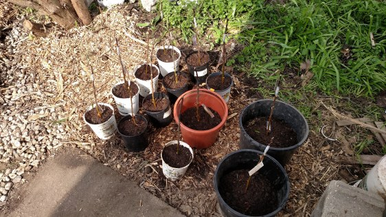Potted apple grafts.