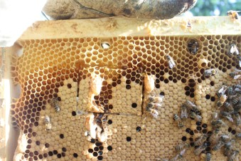 Queen cells from a few weeks ago that failed.
