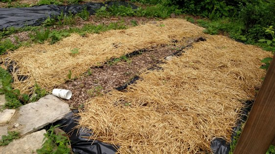 Black plastic(!) sheet mulch.