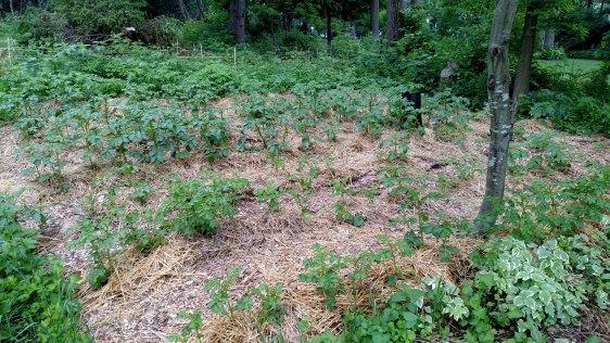 Current potatoes, needing more straw hilling.