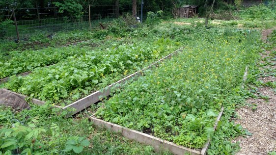 Overgrown raised beds.