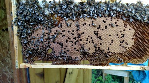 Capped brood in first hive.