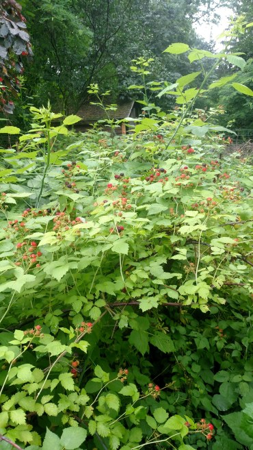 Raspberry patch.