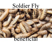 SoldierFly