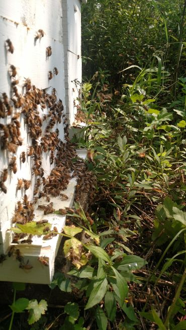 Bees backing up around the hive entrance.
