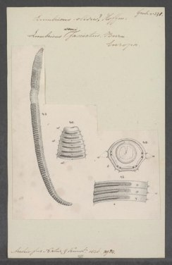 lossy-page1-388px-lumbricus_semifasciatus_-_-_print_-_iconographia_zoologica_-_special_collections_university_of_amsterdam_-_ubainv0274_103_03_0003-tif