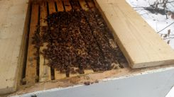 The large cluster in the long Langstroth hive.