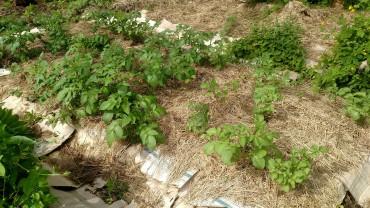 Potatoes before weeding.