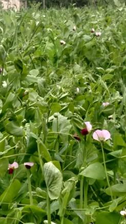 Peas flowering