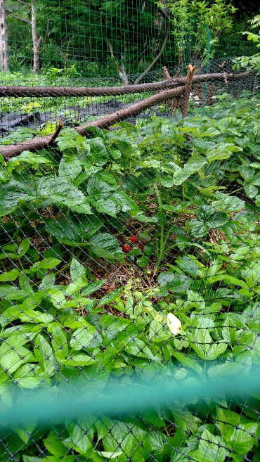 Strawberries ripe now!