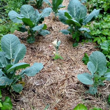 Early cabbage doing well.