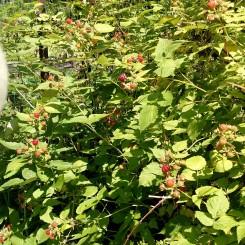 Raspberry bushes.