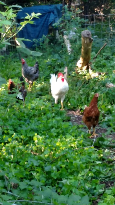 New chickens.