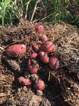 PotatoesFromTerry